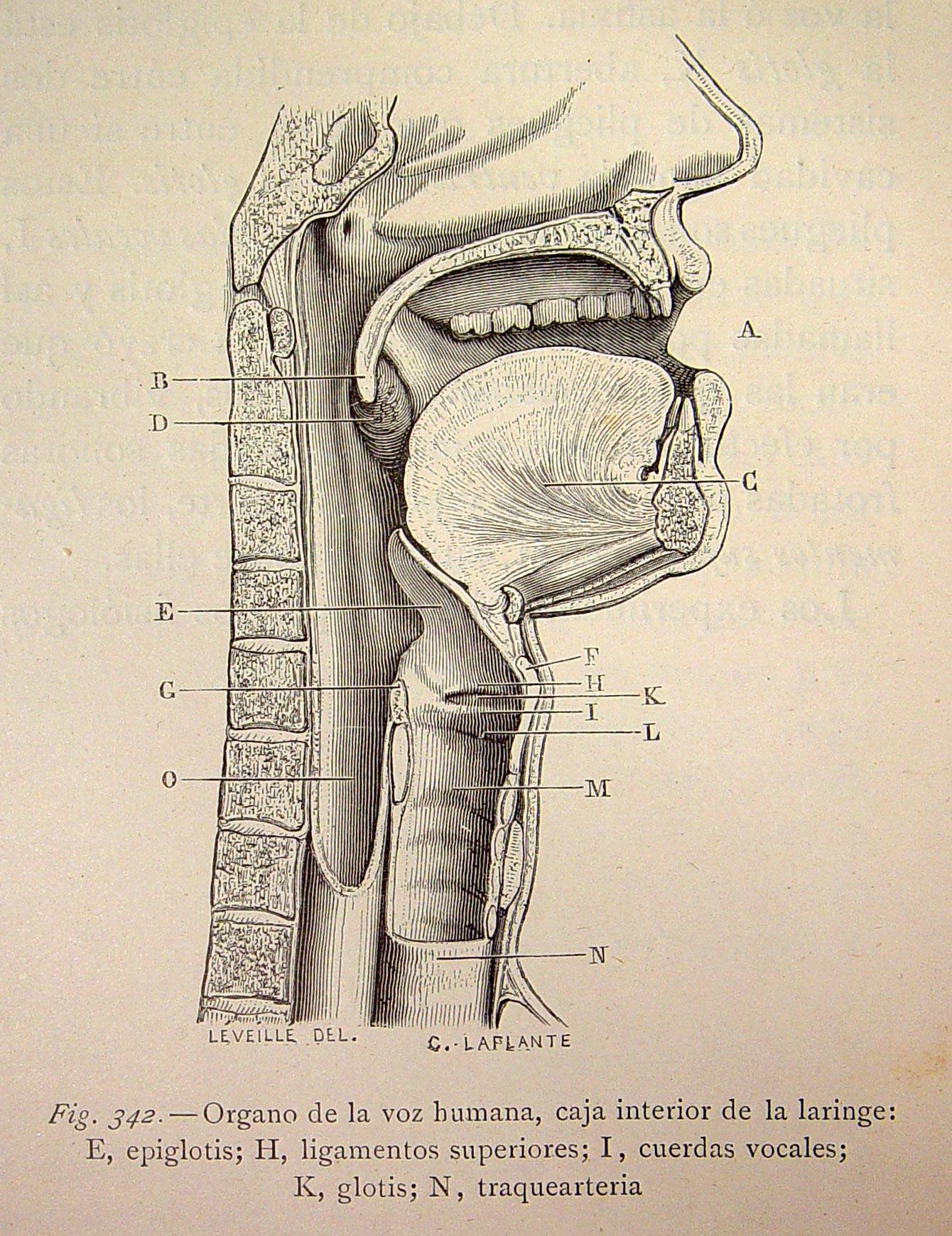 File organo de la voz humana caja interior de la laringe for La voz del interior trabajo