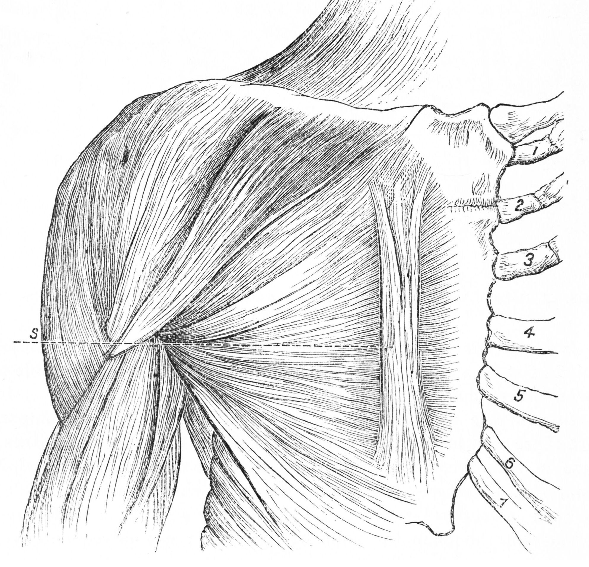 Illustration of the muscles in the chest and arm.