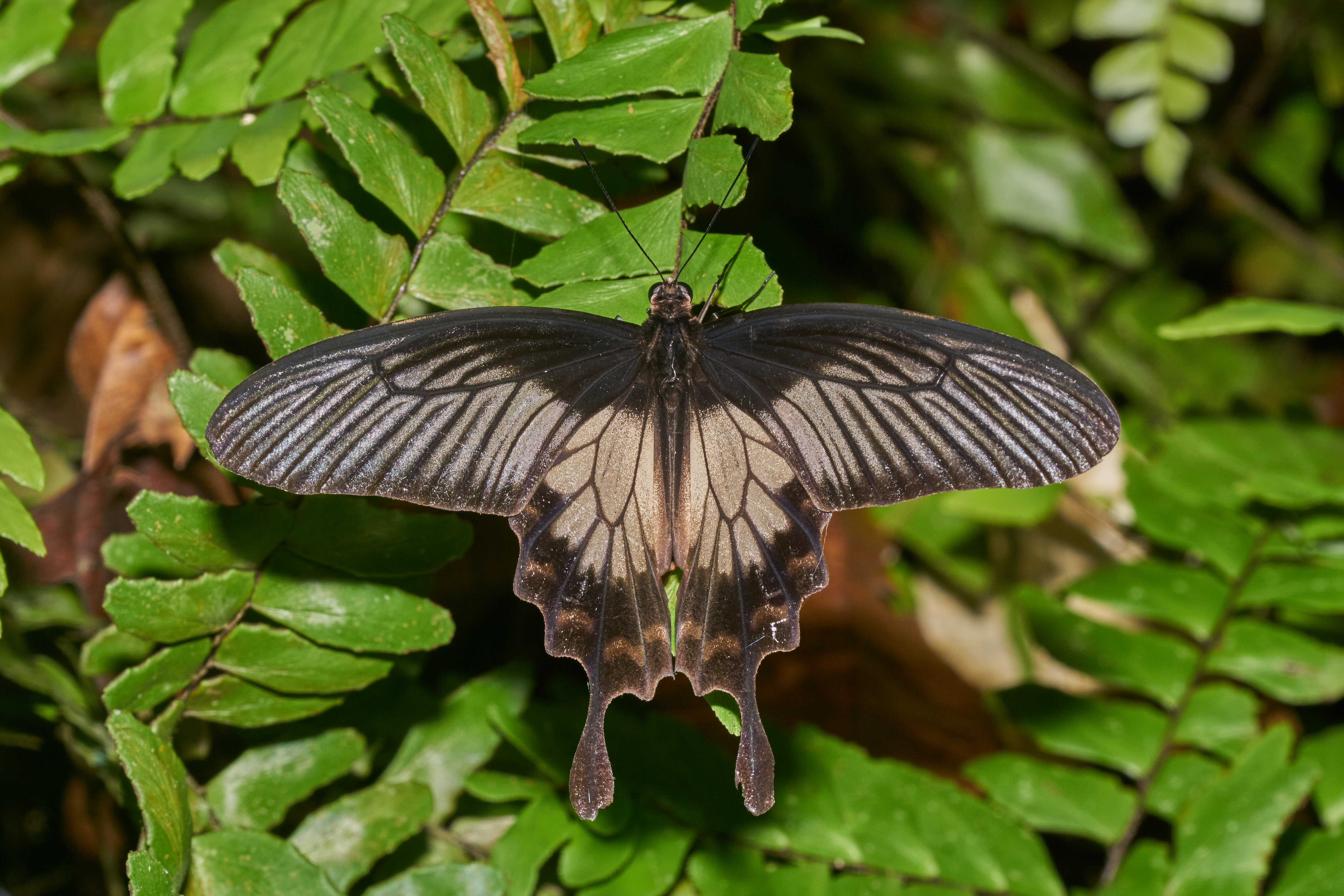 list of butterflies of kerala wikipedia