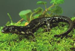 Description de l'image Plethodon wehrlei.jpg.