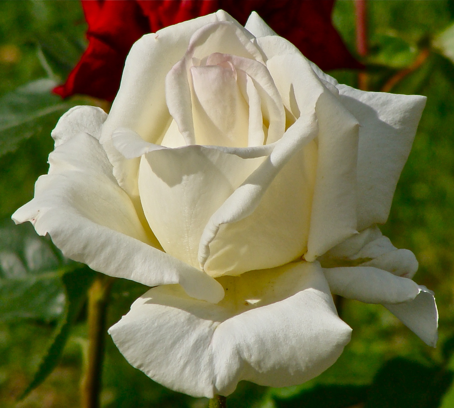 File:Rose blanche 1.JPG - Wikimedia Commons