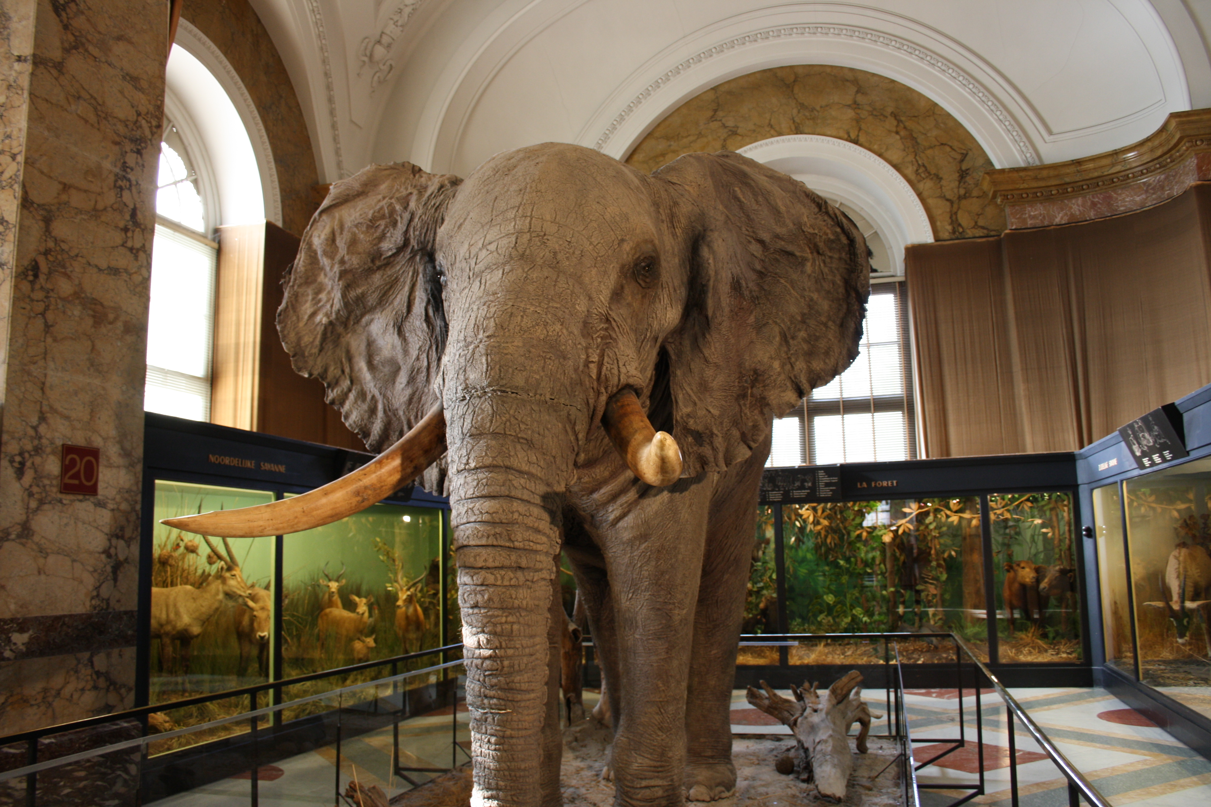 File:Royal Museum for Central Africa Stuffed Elephant 1.jpg