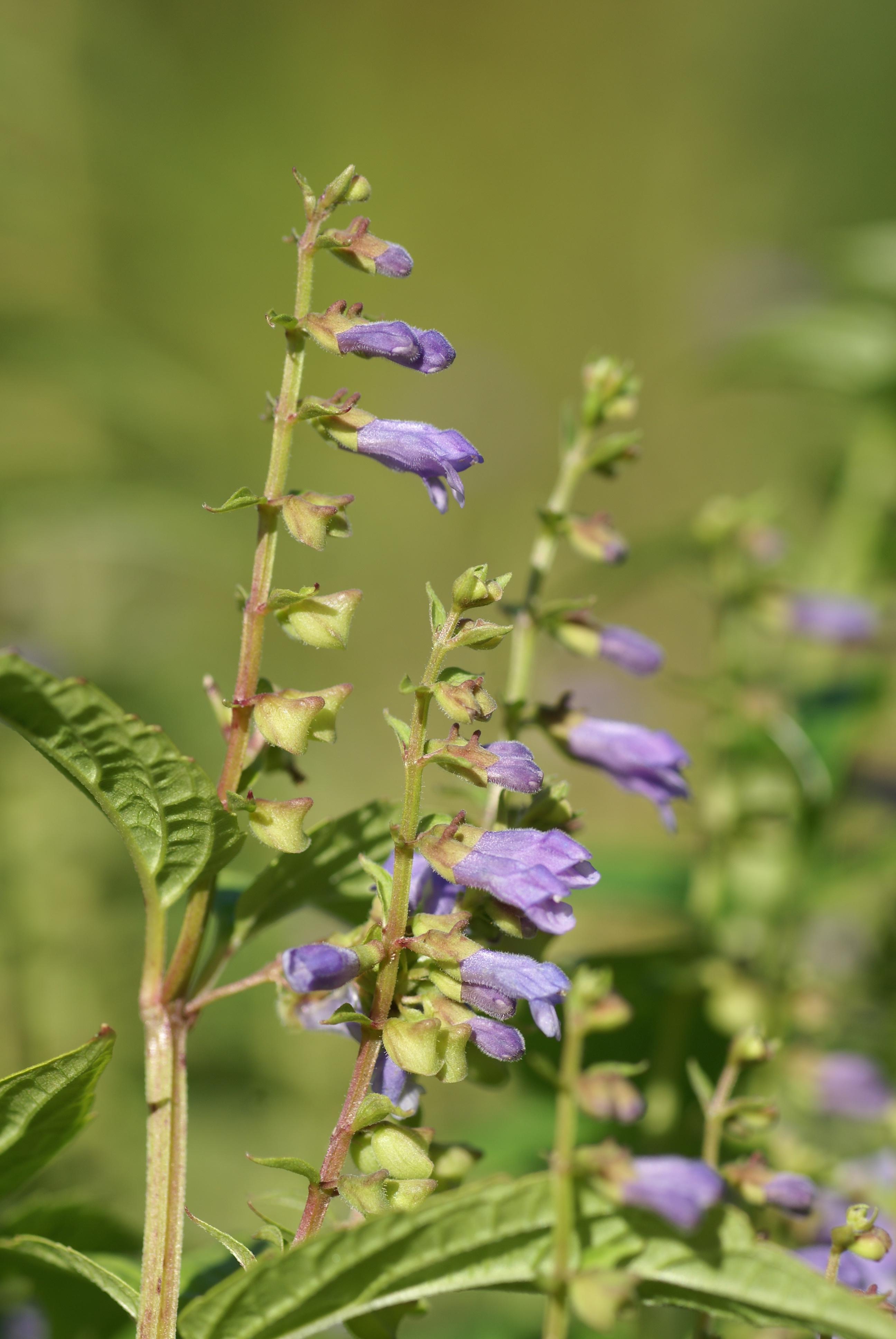 Scutellaria lateriflora - Wikipedia