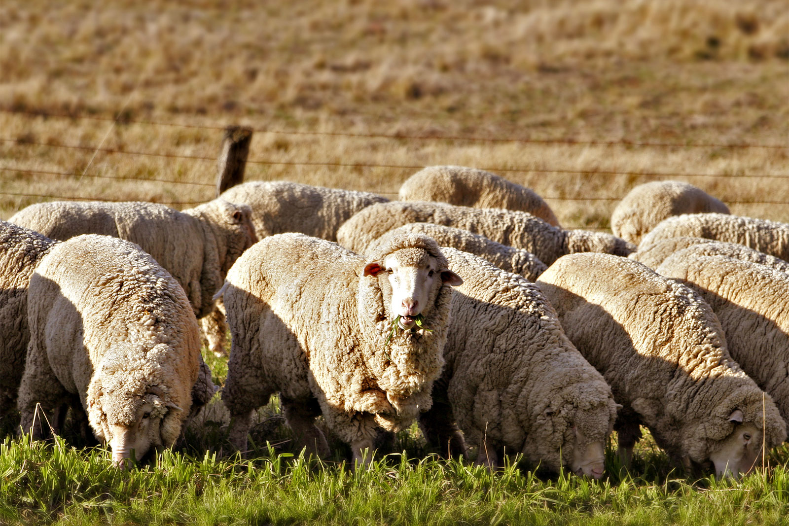 file sheep eating grass