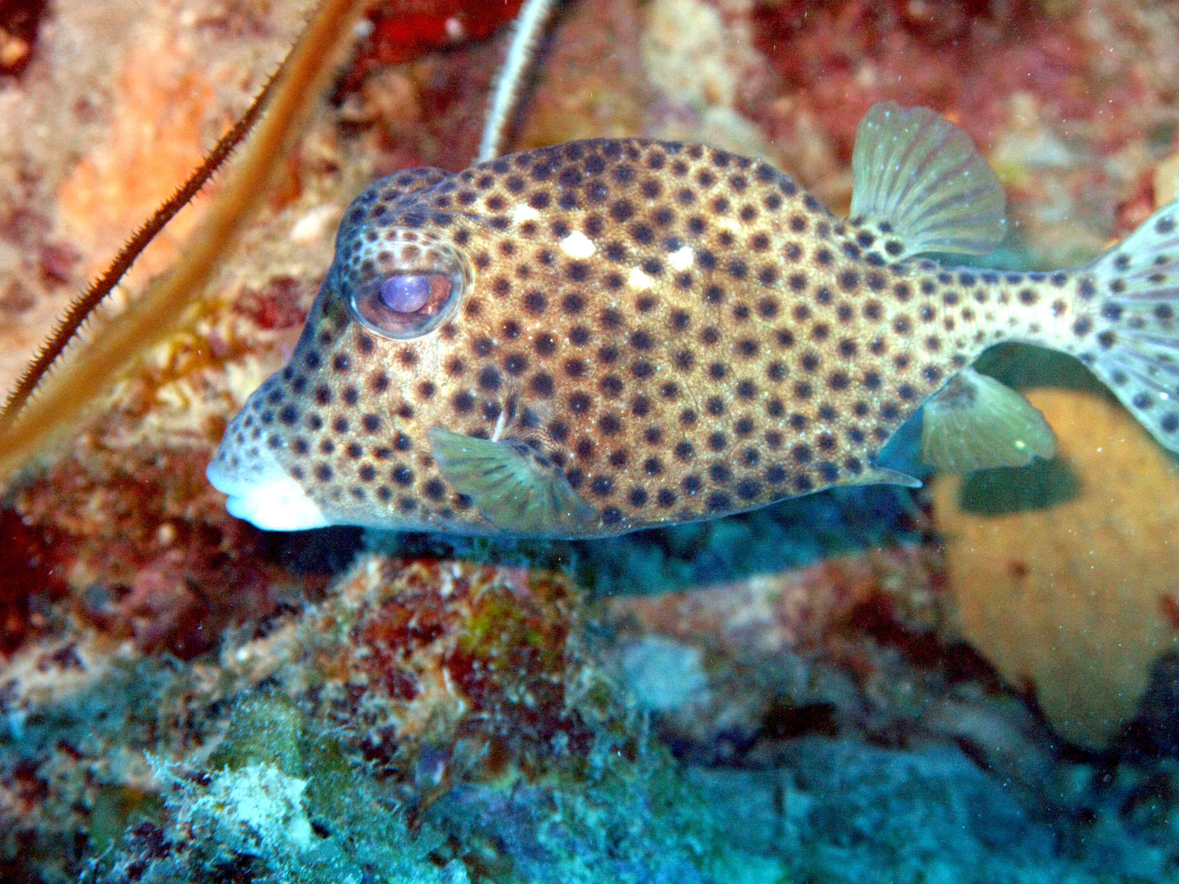 Spotted Trunkfish With A Juvenile Angelfish