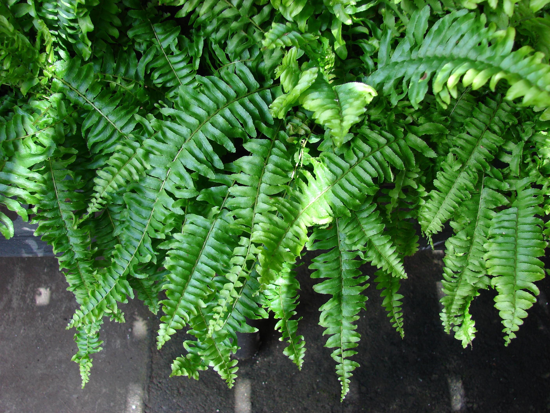 Small Pot Plants File Starr 070906 8736 Nephrolepis Sp Jpg Wikimedia Commons