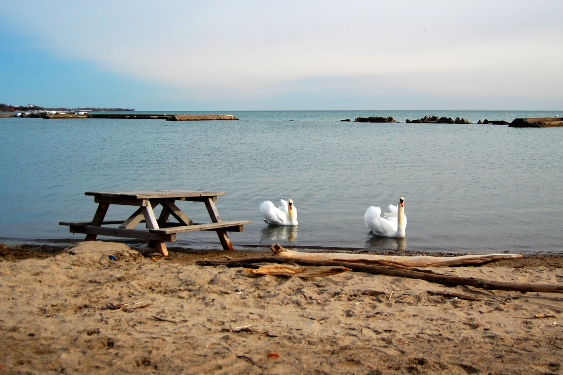 File Swans And A Picnic Table At Sunnyside Beach Jpg