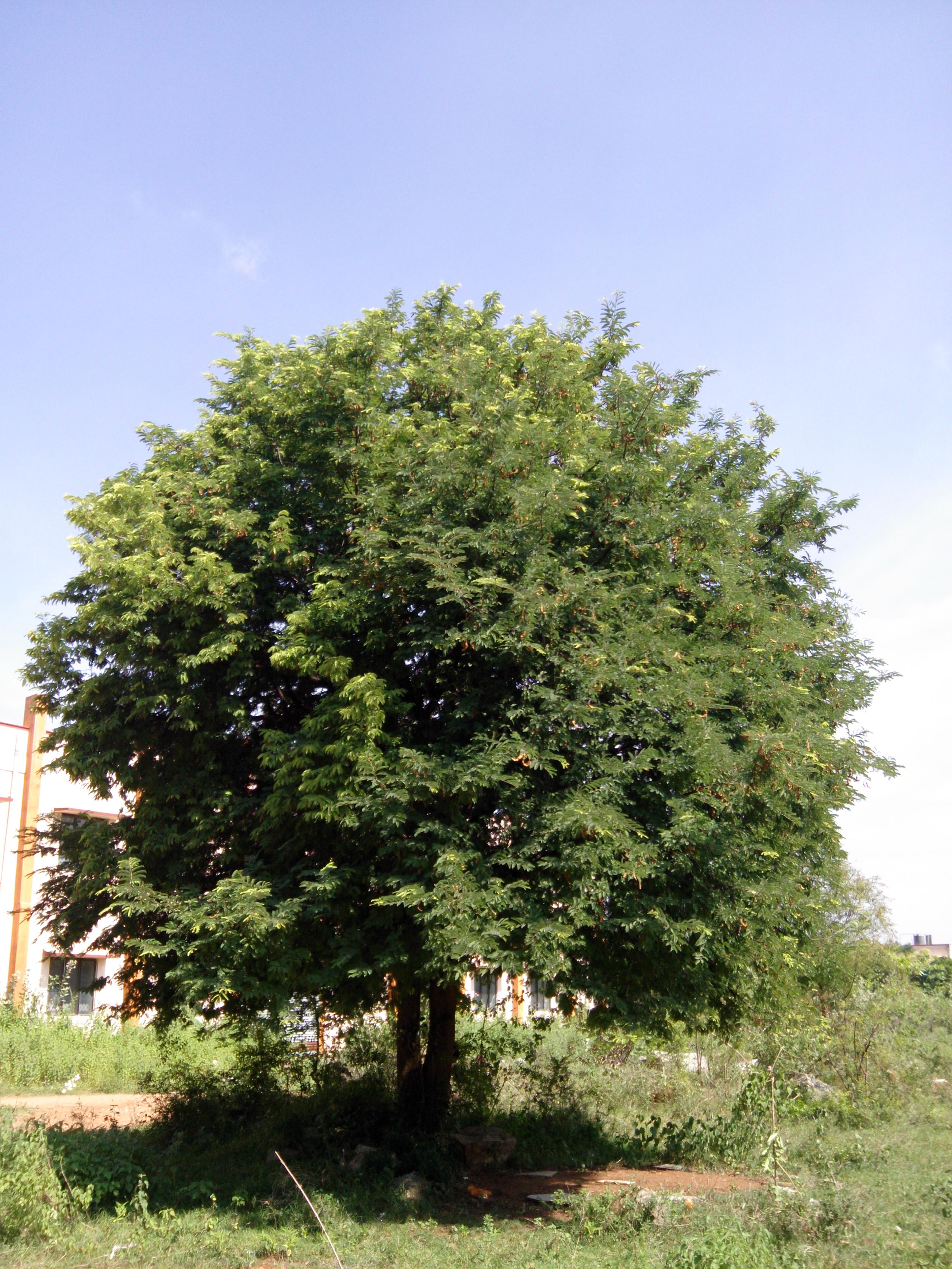 File:Tree of Tamarindus indica, Salem, Tamil Nadu, India jpg