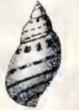 Tricolia speciosa 003.jpg