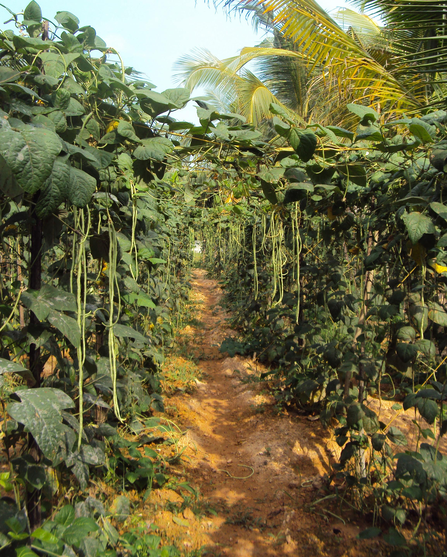 Comment Planter Des Asperges dolique asperge — wikipédia