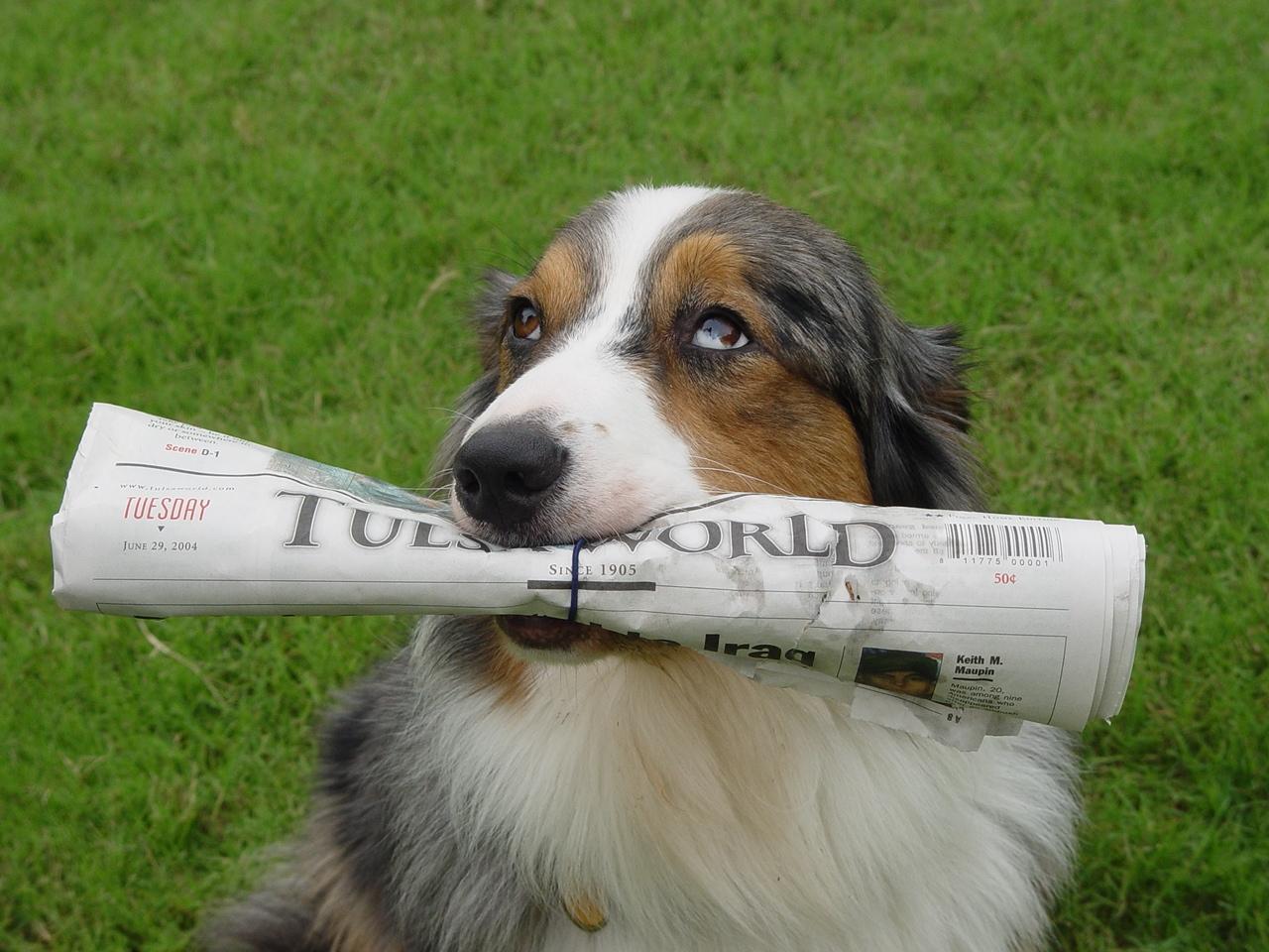 Winston the paper retriever by Cartese
