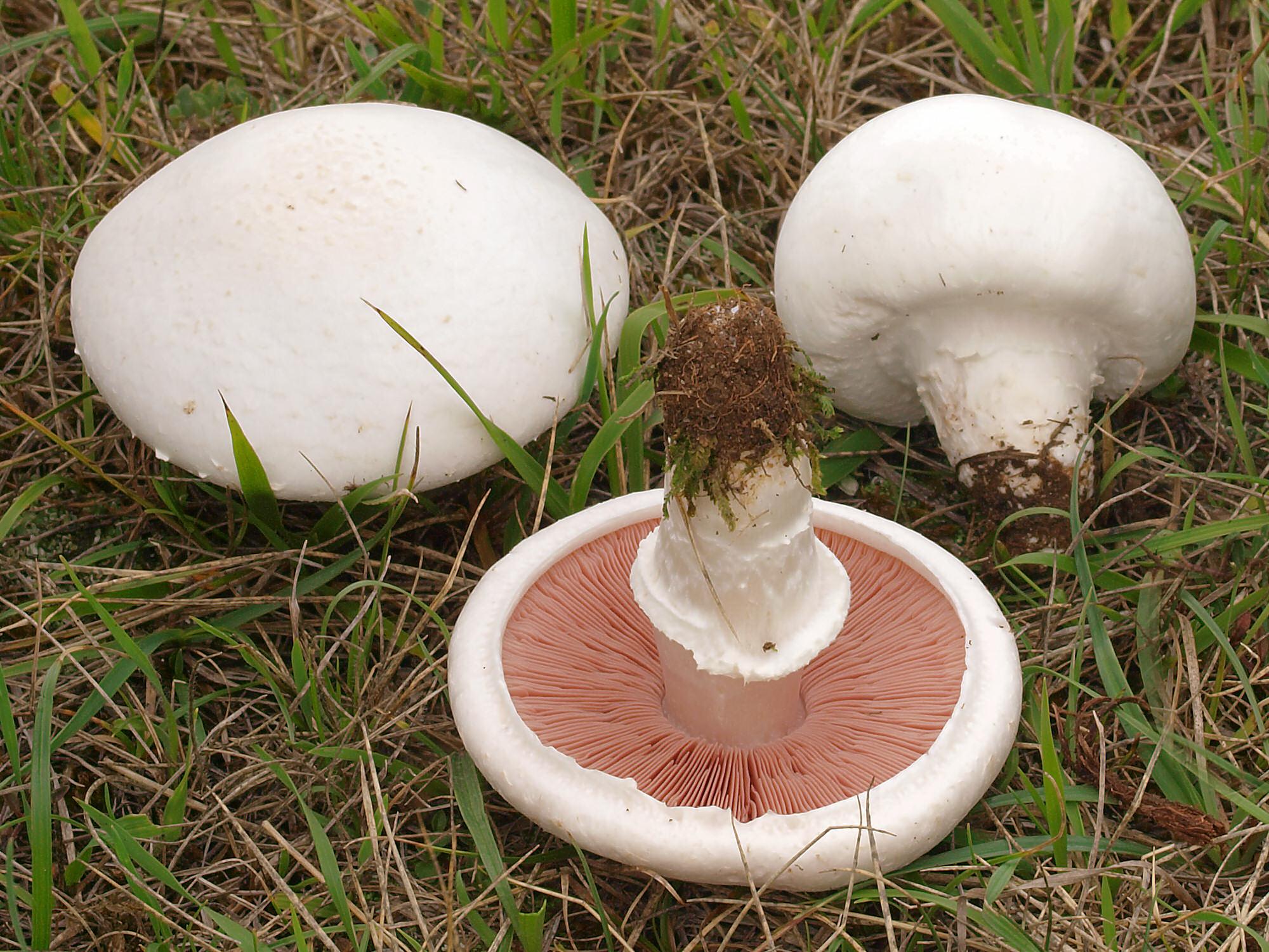 ciuperci agaricus