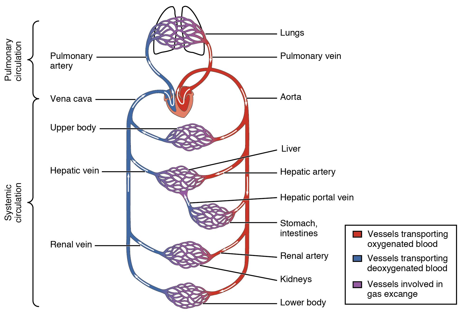 Circulatory system - Wikiwand
