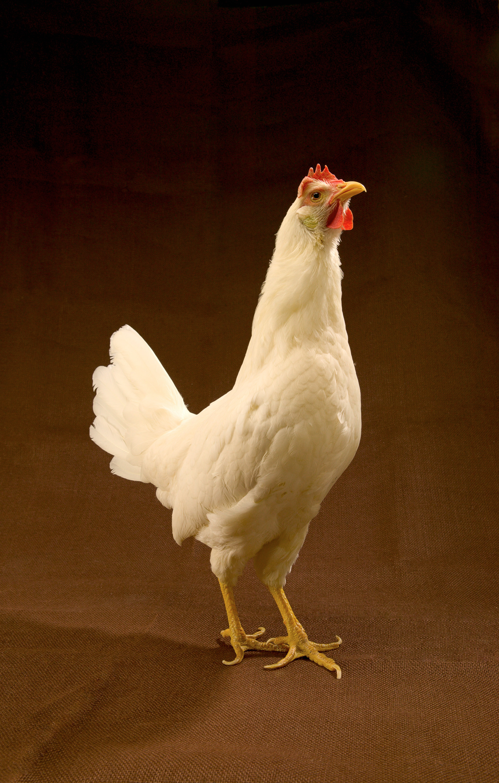 Bird Revelations Job 12:7: Jerusalem+Matt. 23:37:Hen ...