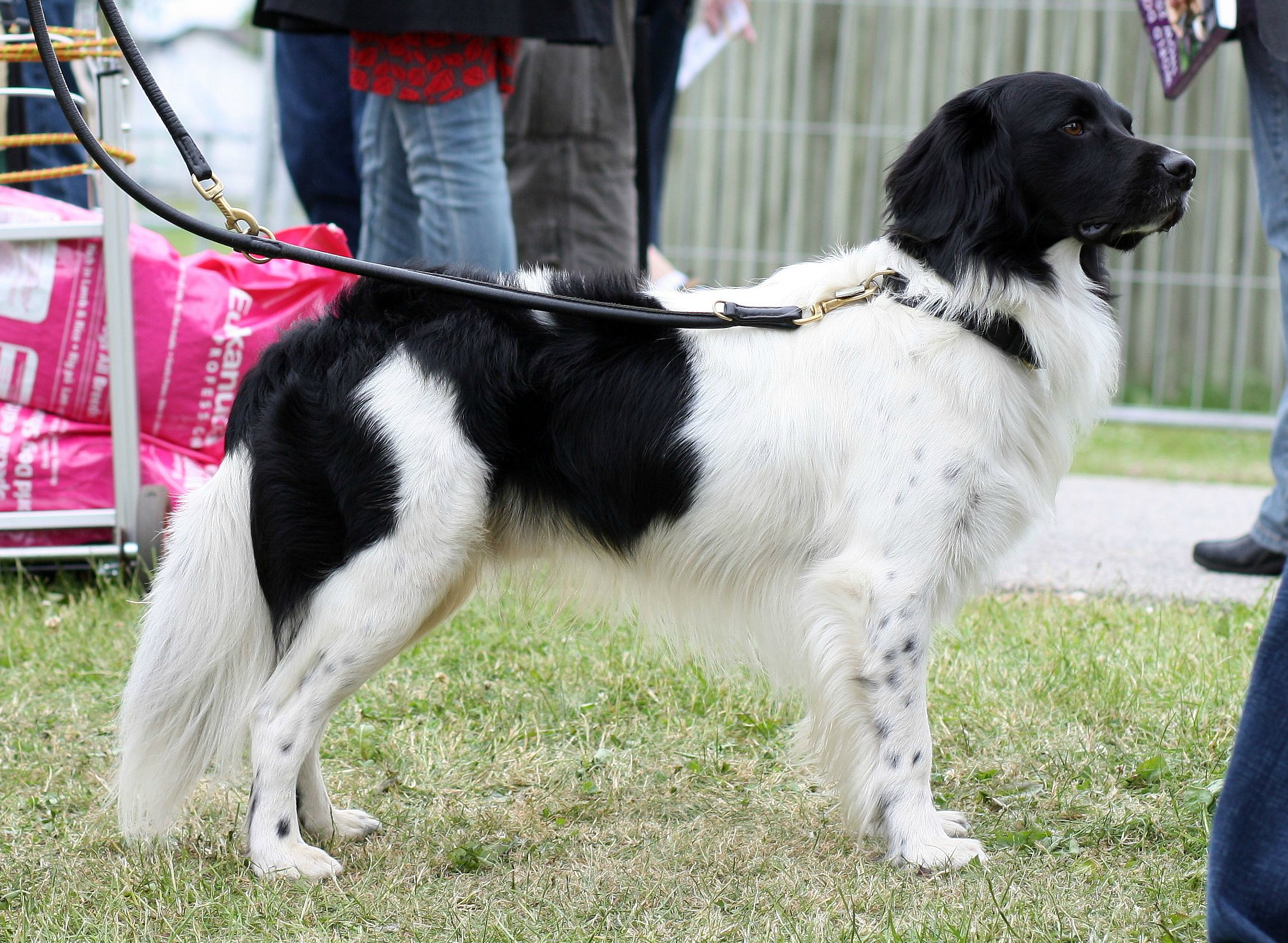 Le Stabyhoun chien rare