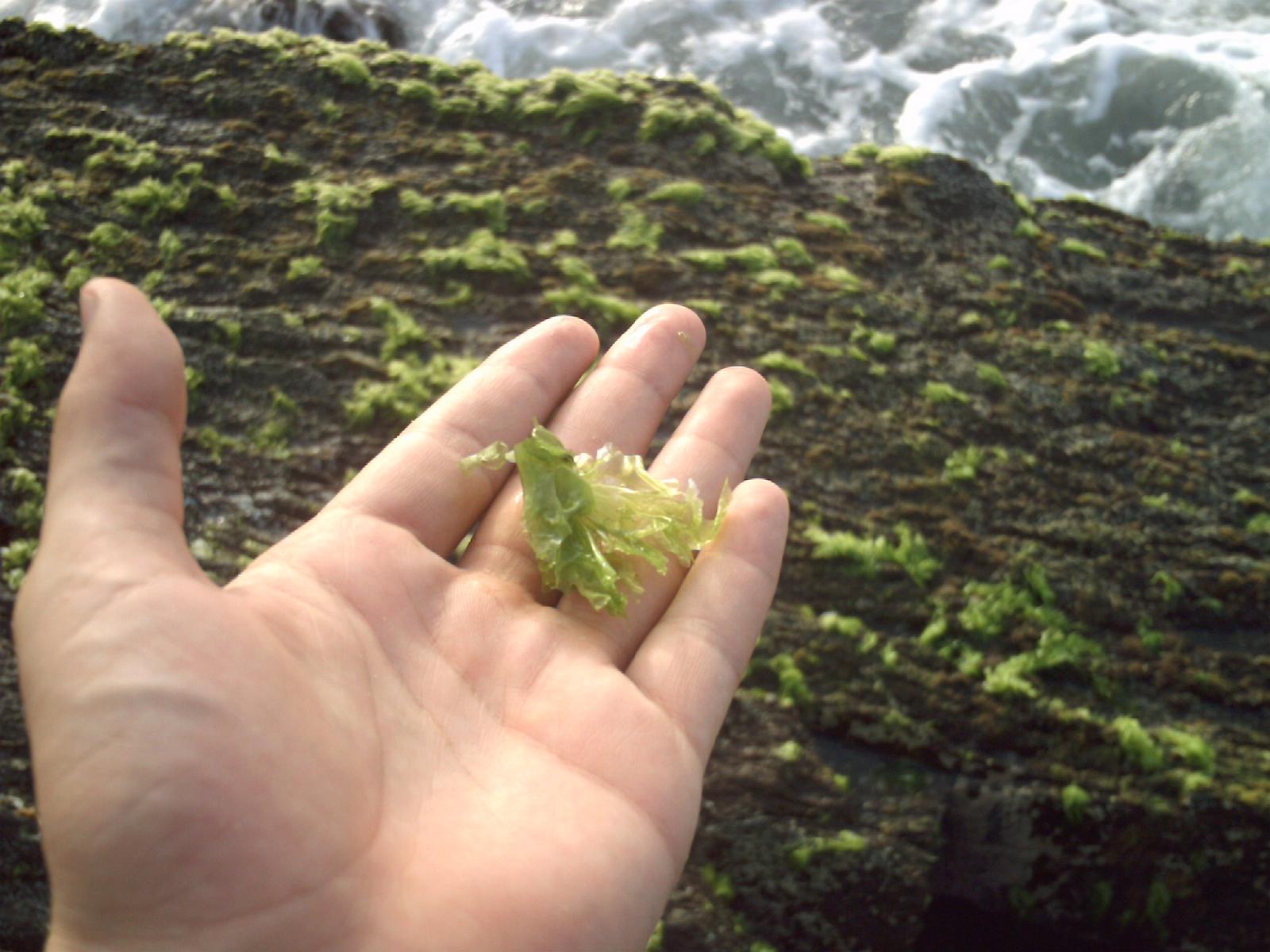 fotosintesis alga marina: