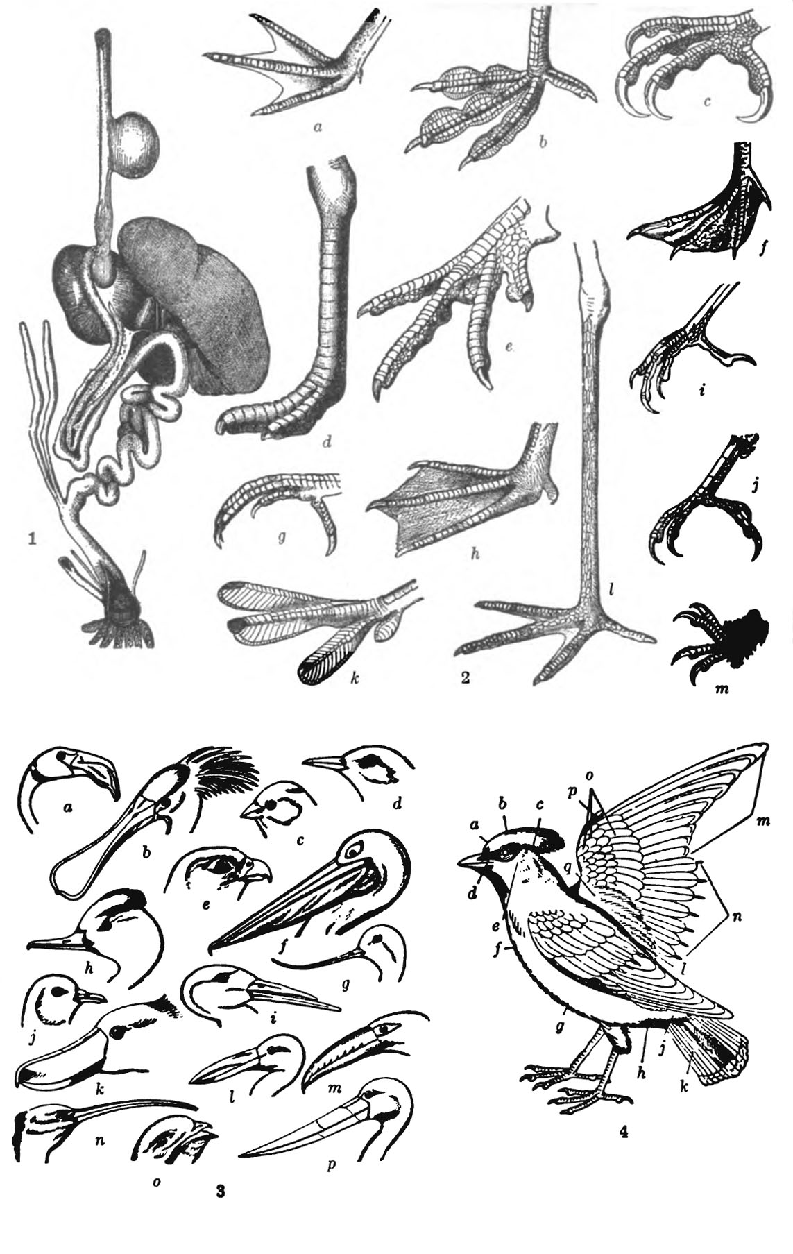 File Americana 1920 Birds Organs Feet Head Feathers