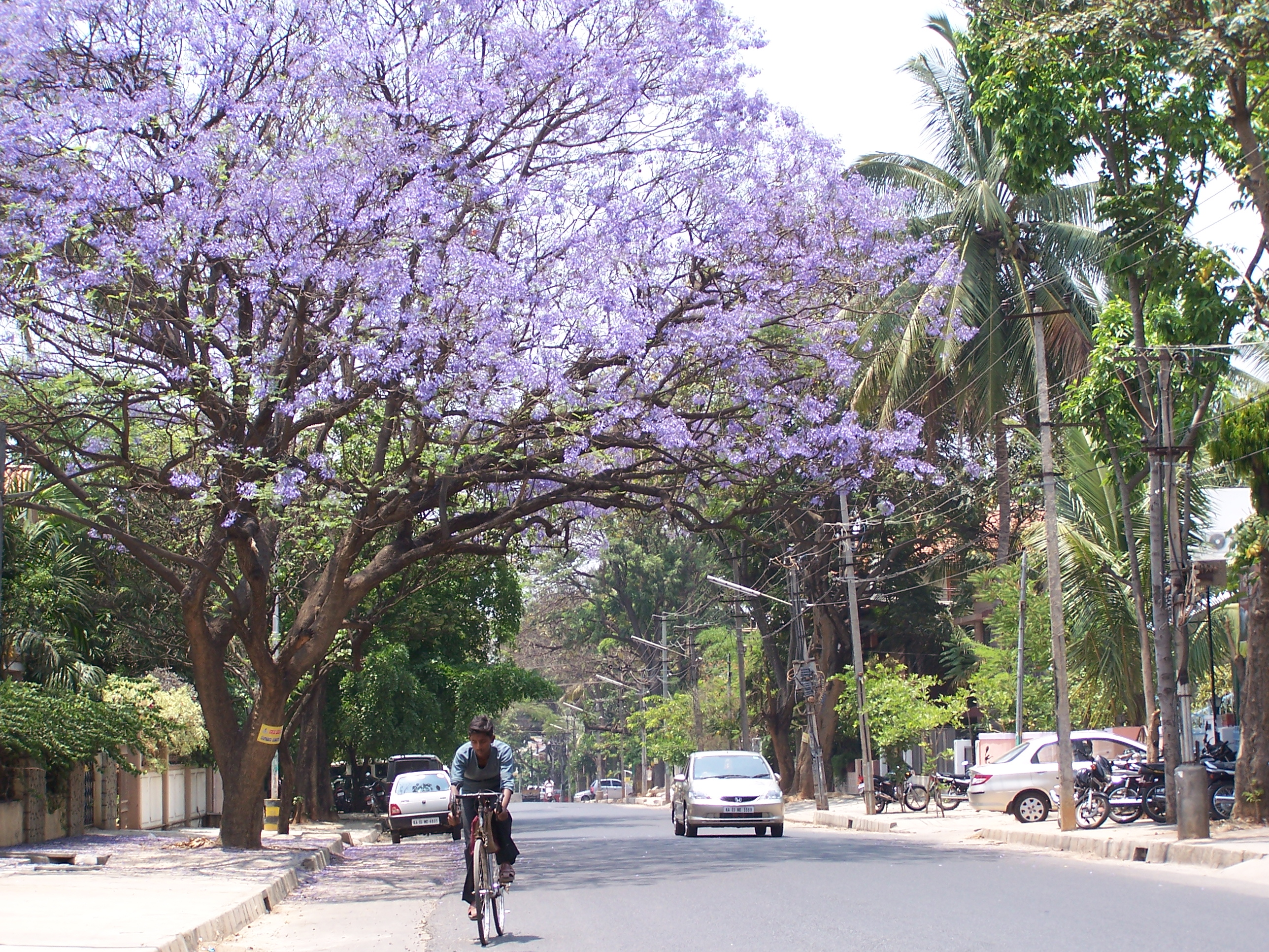 Anyone Know Those Tress With The Blooming Purple Flowers Home