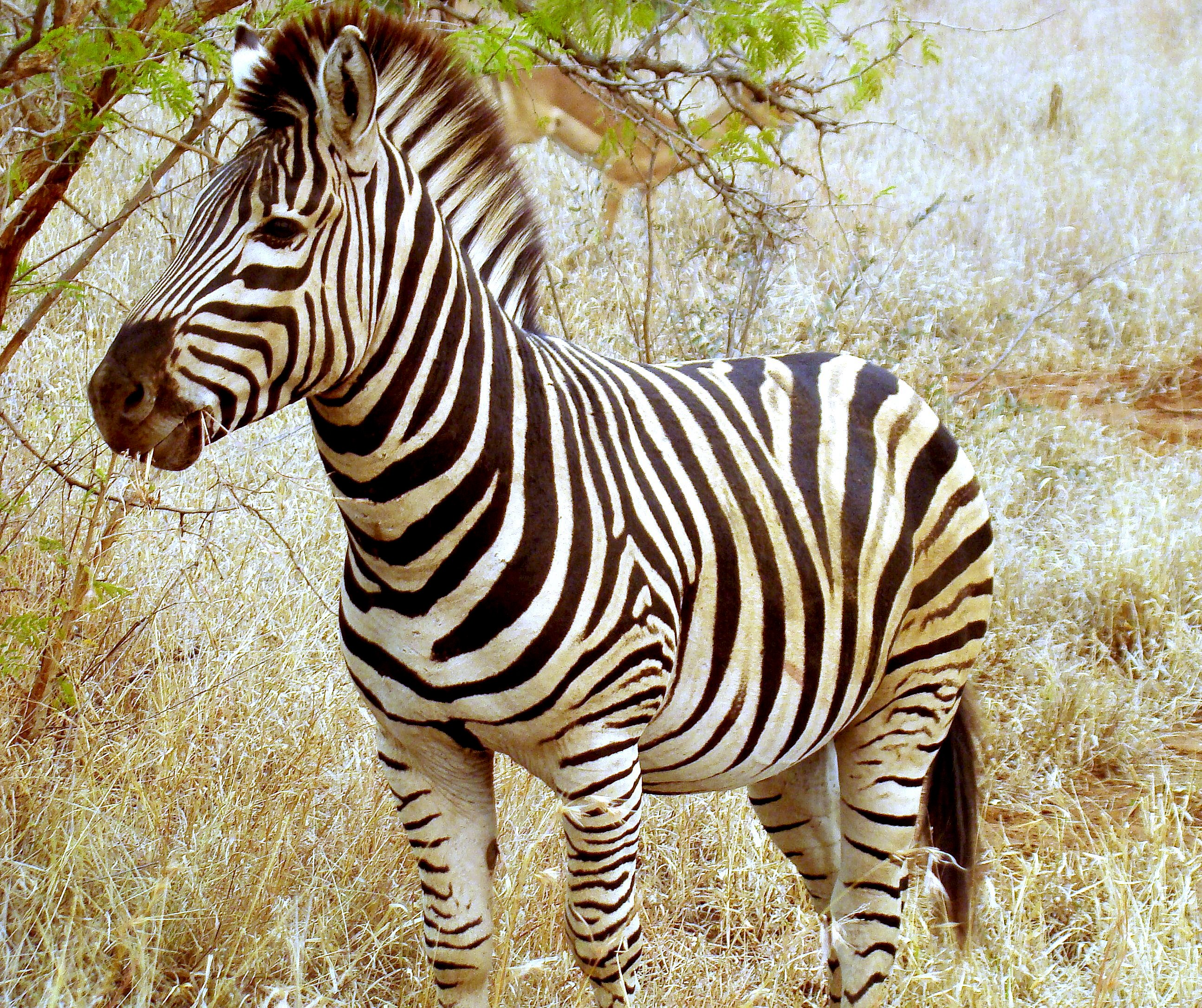 Http Commons Wikimedia Org Wiki File Beautiful Zebra In South Africa Jpg