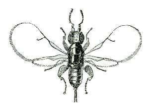 http://upload.wikimedia.org/wikipedia/commons/f/f2/Blastophaga_psenes.jpg