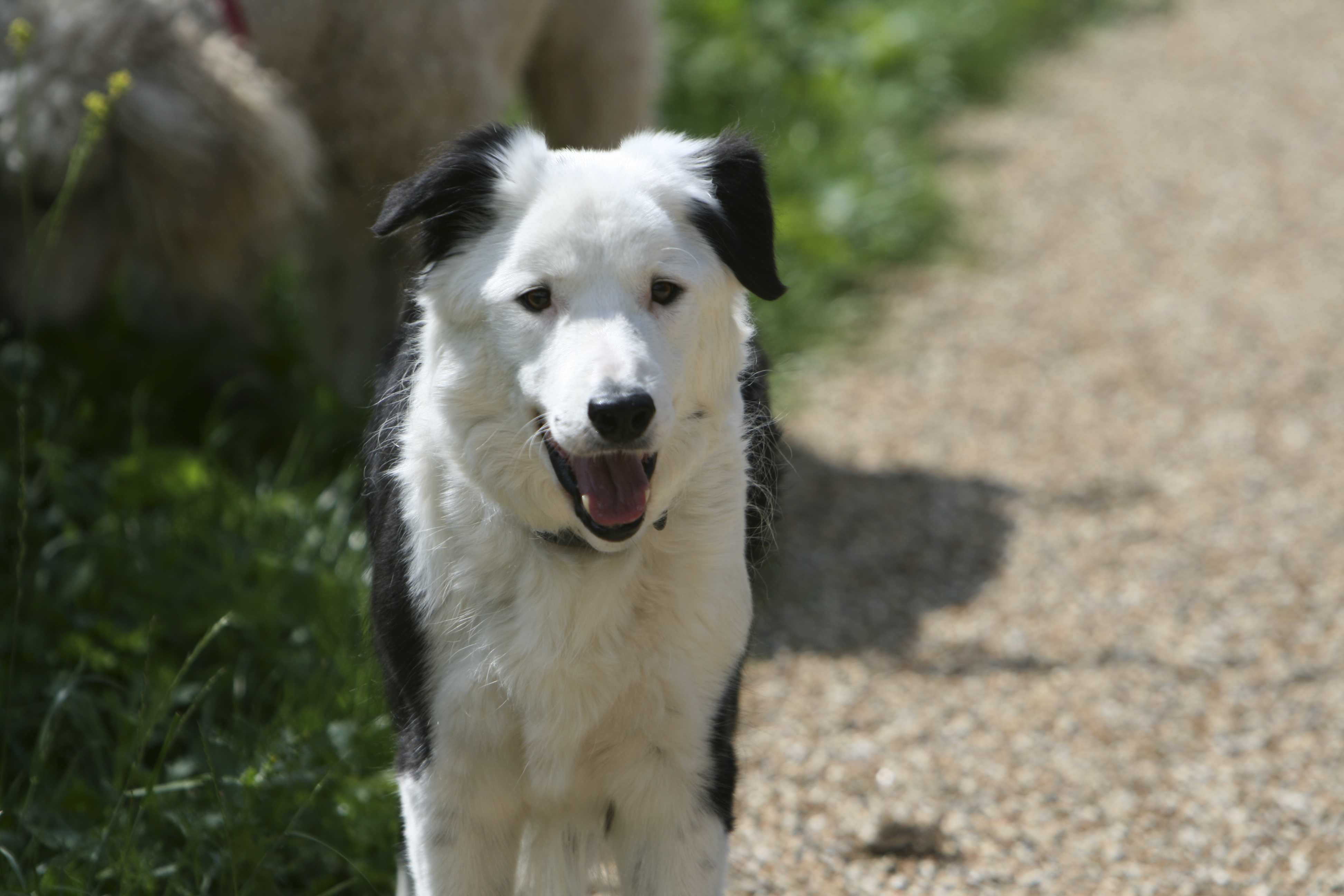 File:Border Collie black-and-white front.jpg - Wikimedia Commons