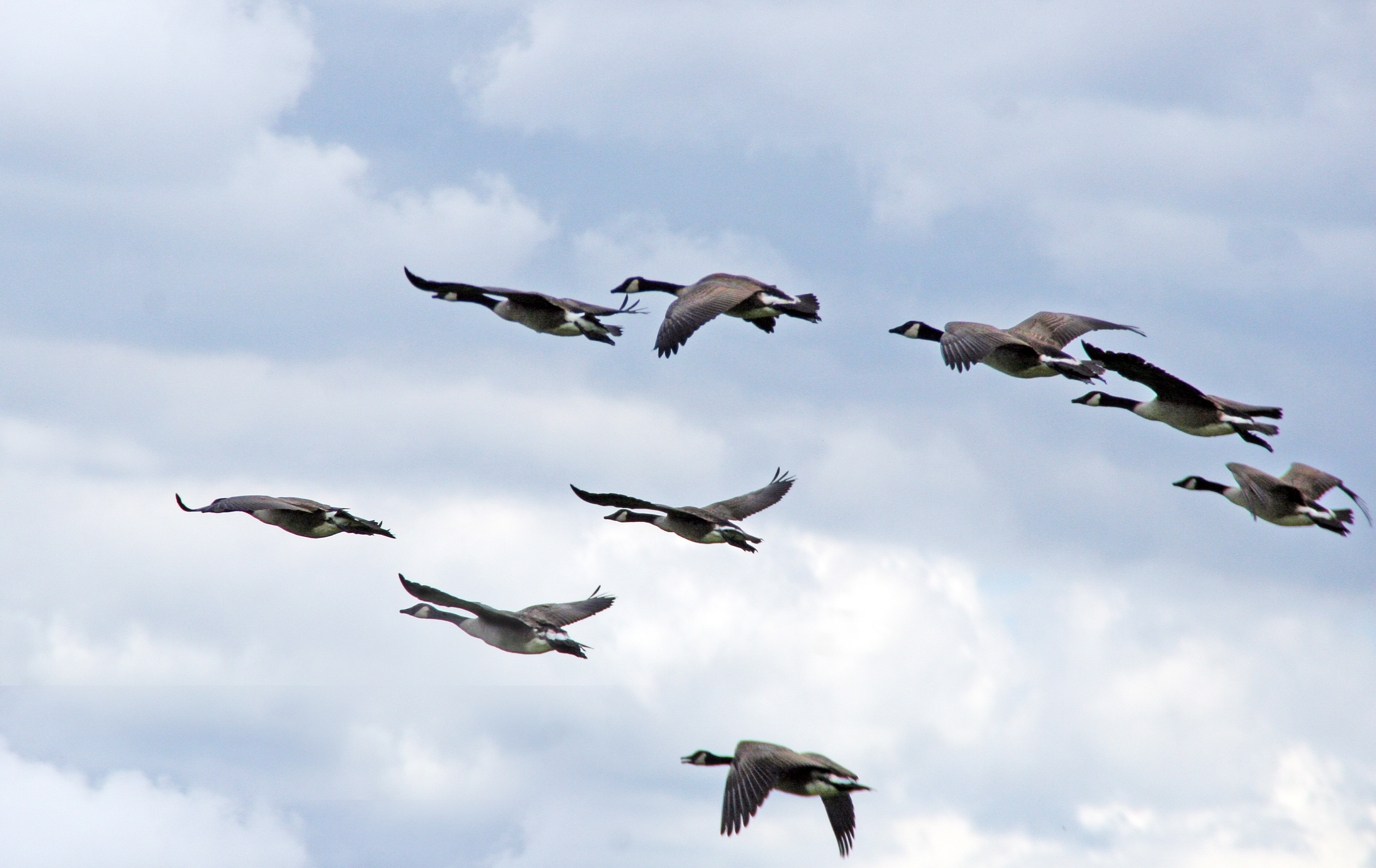 By liz west (Flickr: geese in flight) [CC-BY-2.0 (https://creativecommons.org/licenses/by/2.0)], via Wikimedia Commons