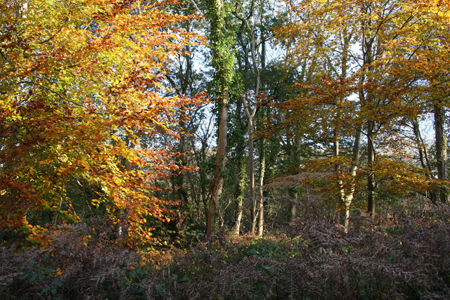 Broadclyst, Ashclyst Forest - geograph.org.uk - 81877