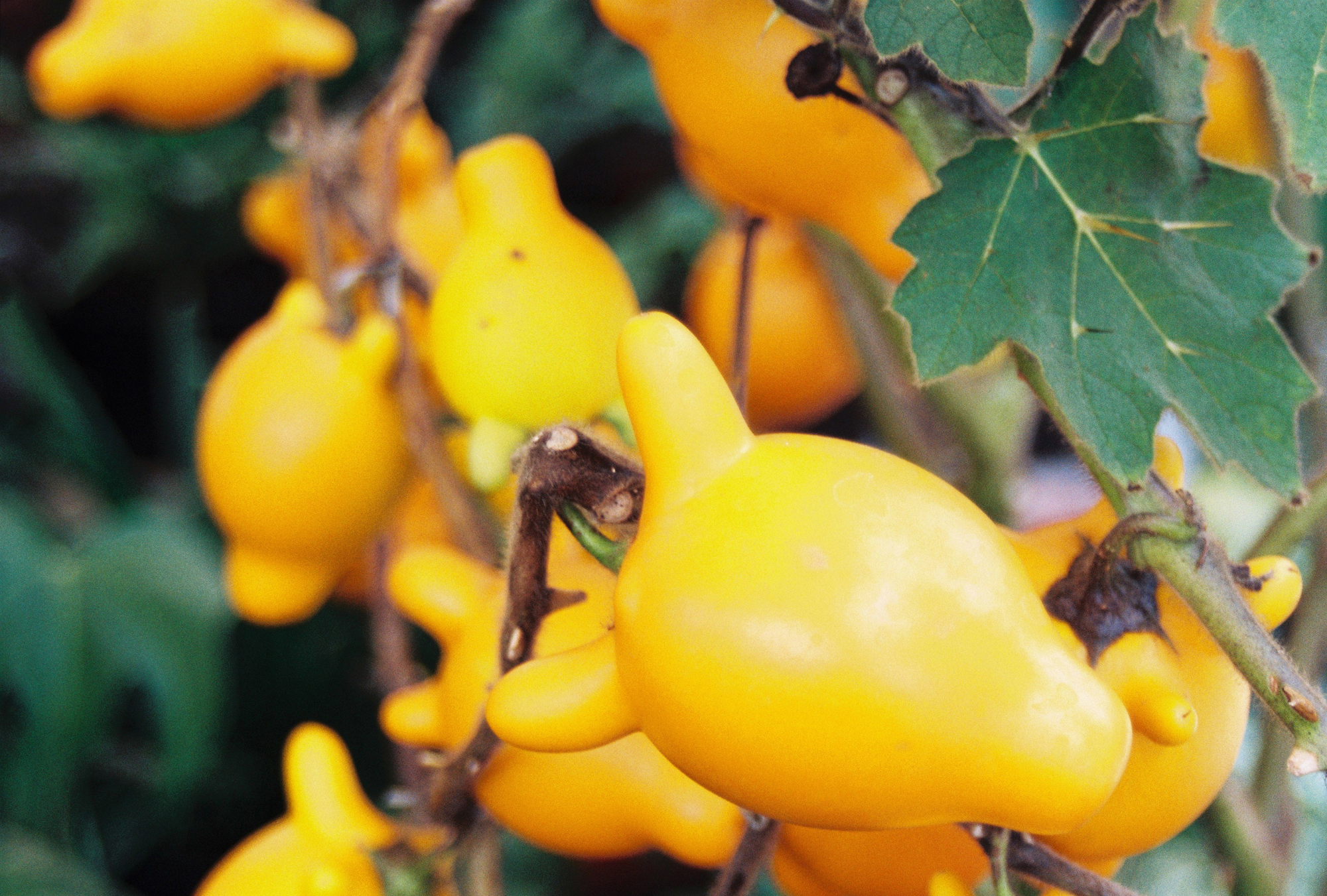 Tittyfruit or 五指茄