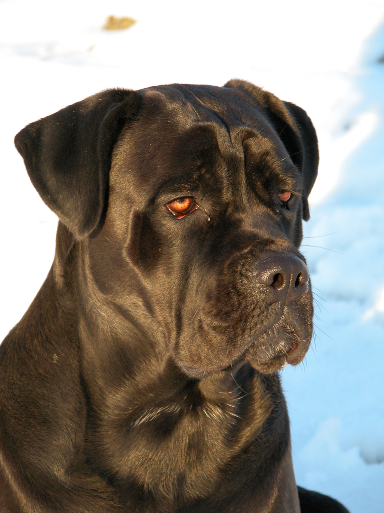 Description Cane corso temi 2 1024x768x24.png