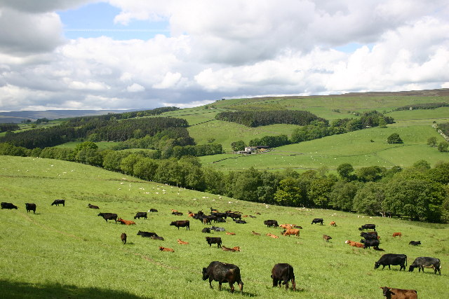 Cattle Grazing between Wolsingham and Tunstall - geograph.org.uk - 77878
