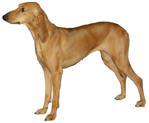 File:Chien Courant Italien A Poil Ras.jpg - Wikimedia Commons