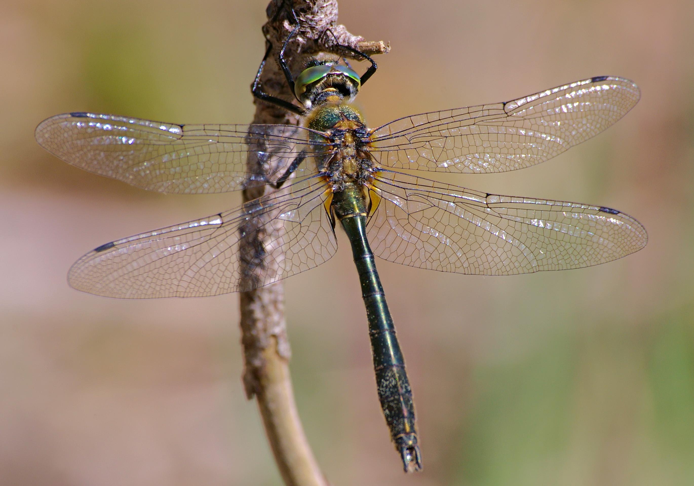 File:CorduliaAeneaMale.jpg - Wikimedia Commons