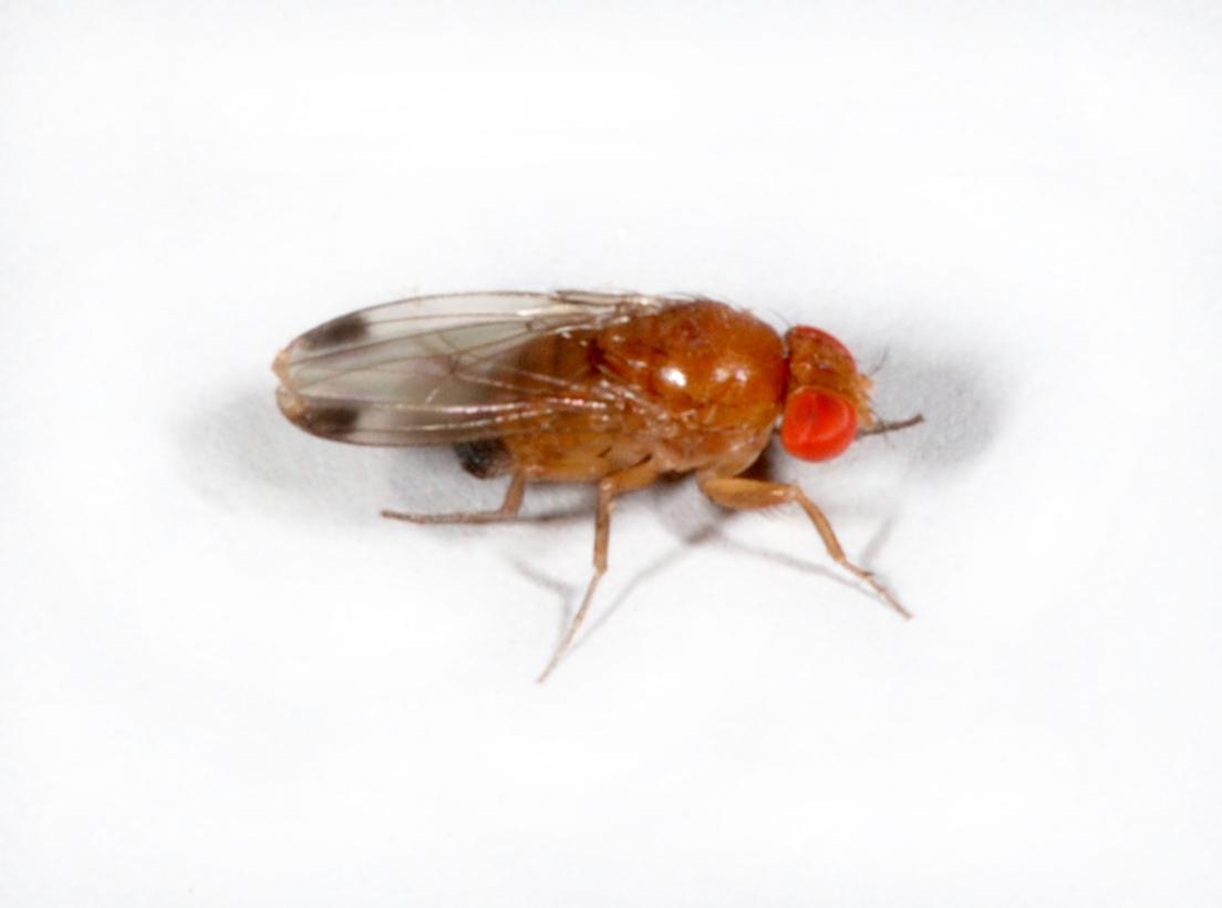 Kirschessigfliege (Drosophila suzukii), Männchen