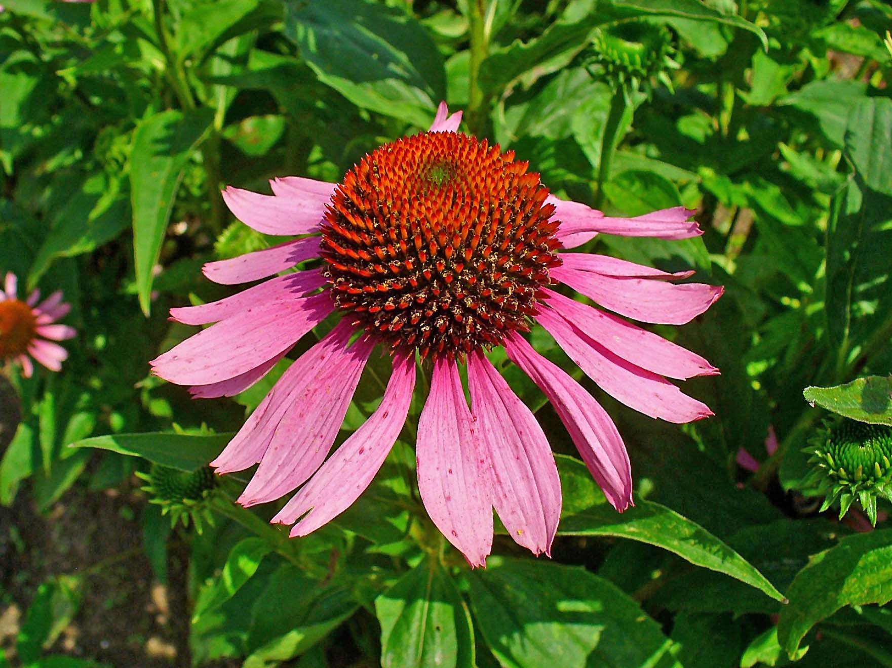 file echinacea purpurea 003 jpg wikimedia commons. Black Bedroom Furniture Sets. Home Design Ideas