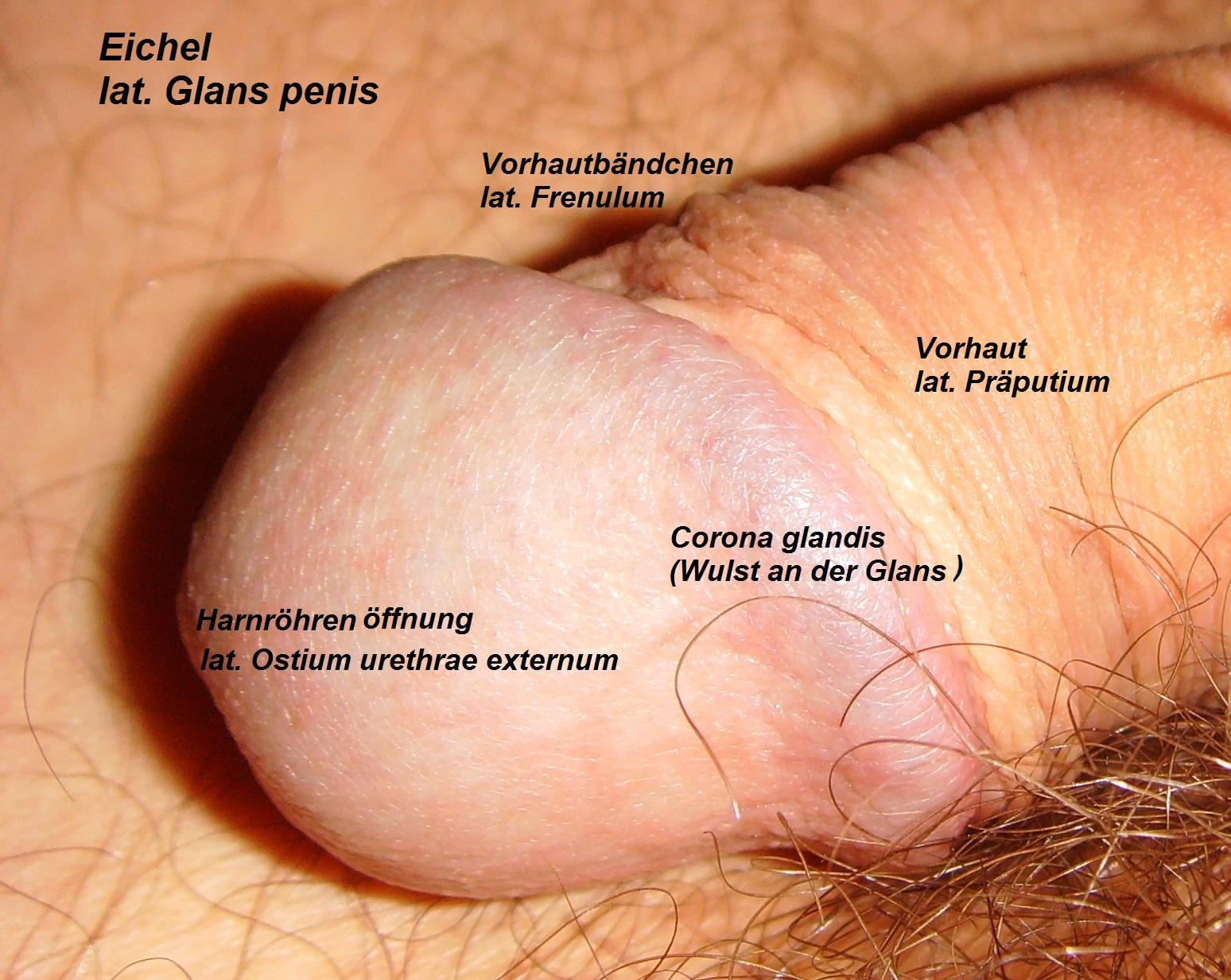 Normal penis glans