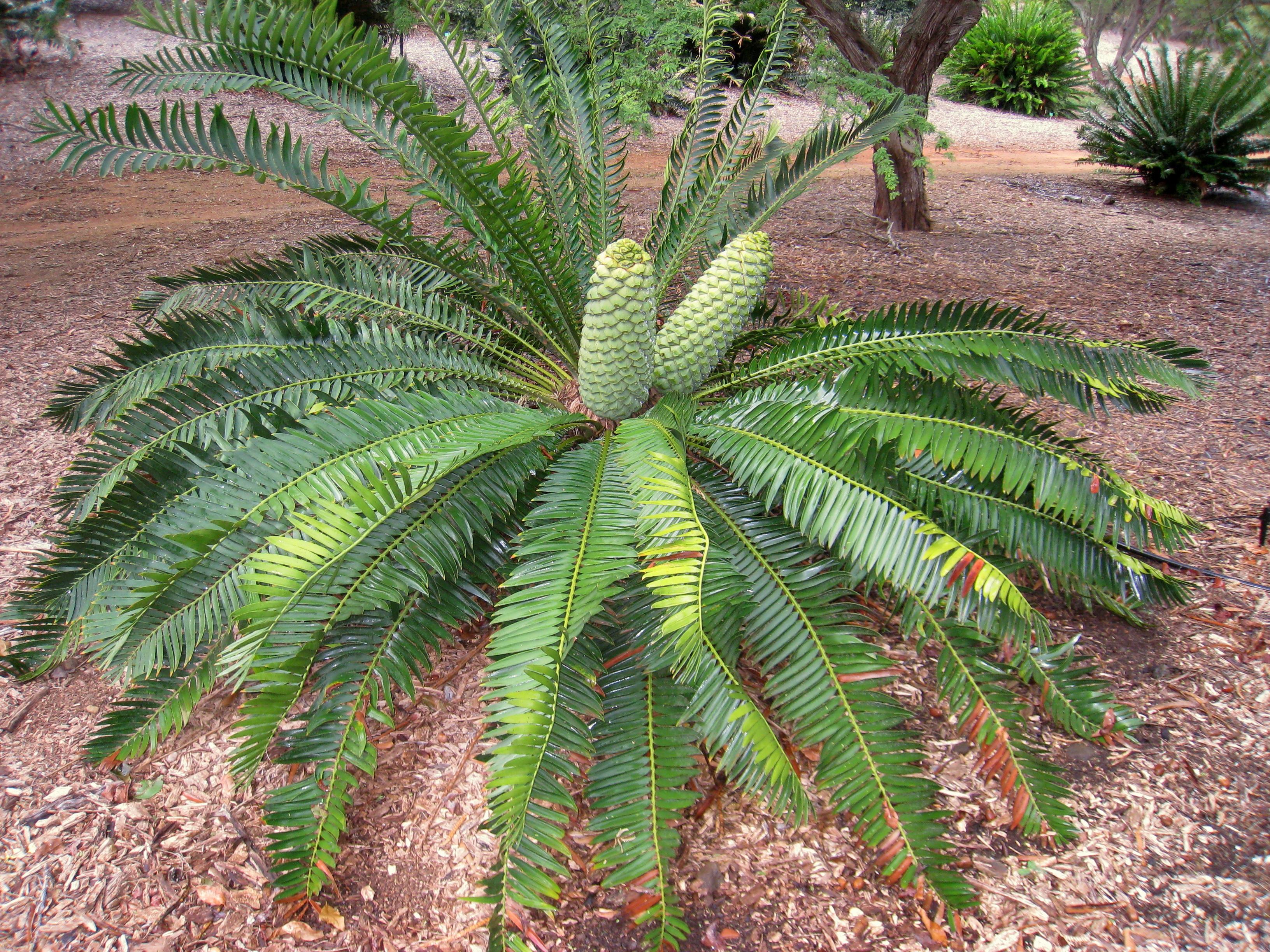 File:Encephalartos Turneri   Koko Crater Botanical Garden   IMG 2328.JPG