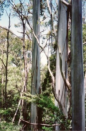 Shining gum -  84.3 m (277 ft)