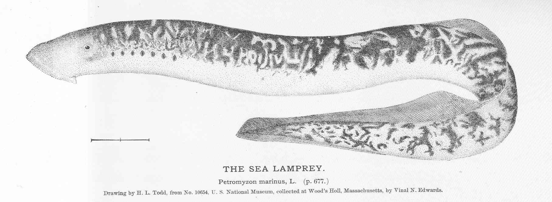 FileFMIB 51159 Sea Lampreyjpeg