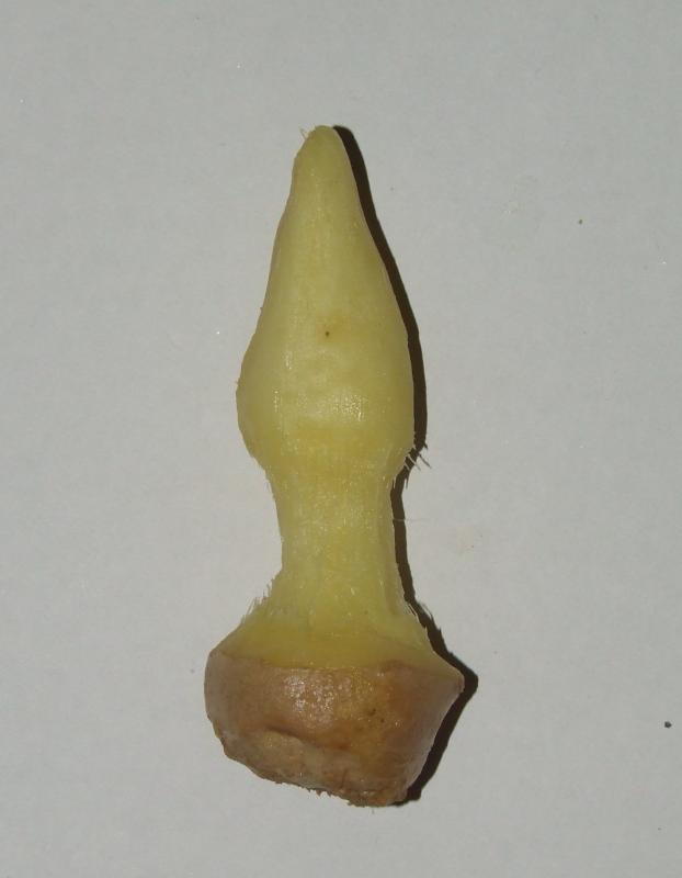 Ginger root anus