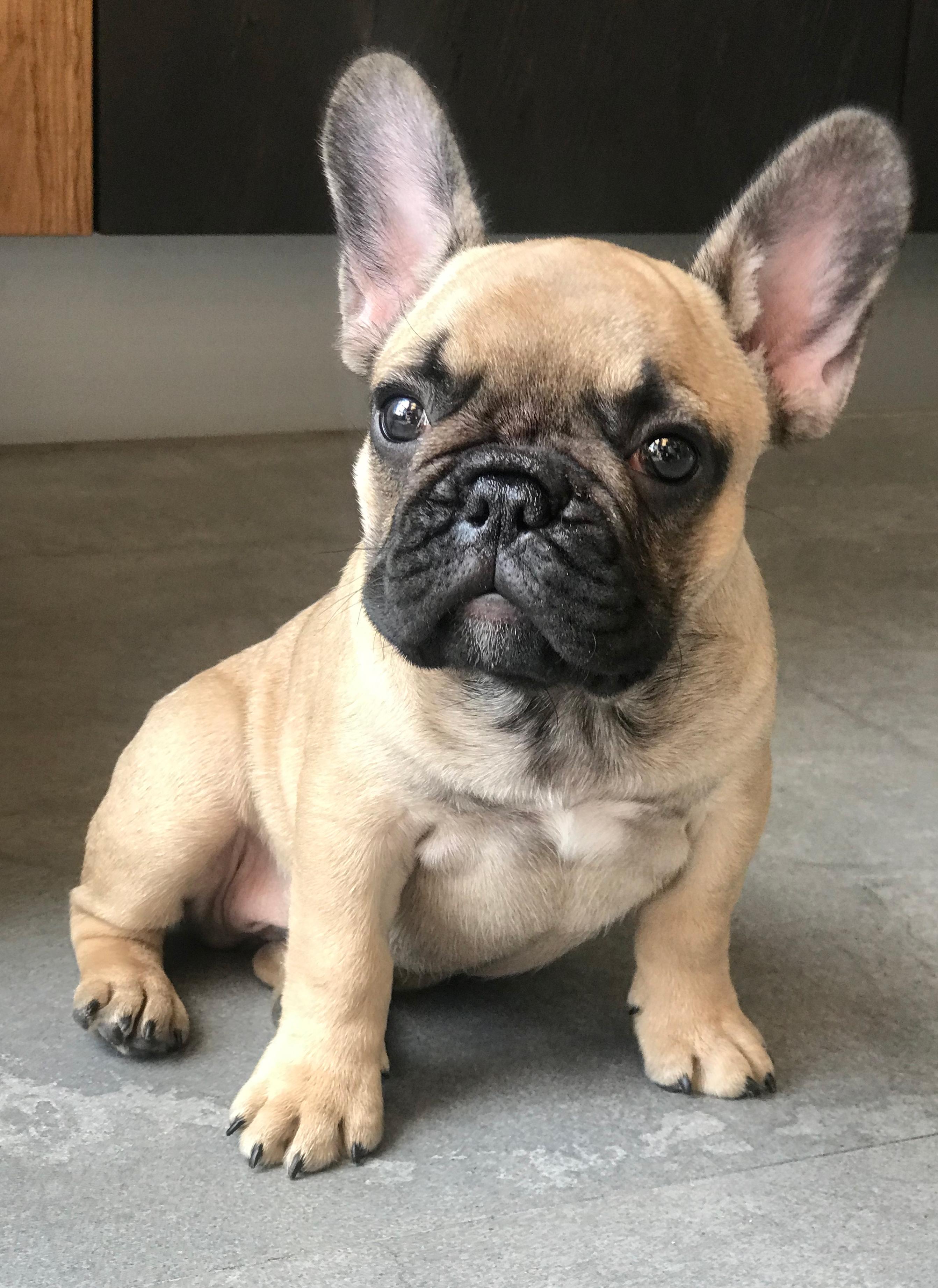 File French Bulldog Puppy Fawn Jpg Wikimedia Commons