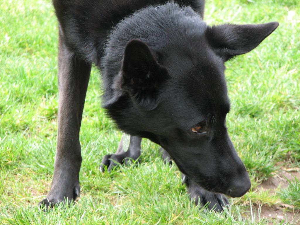Black Lab Toy Dog