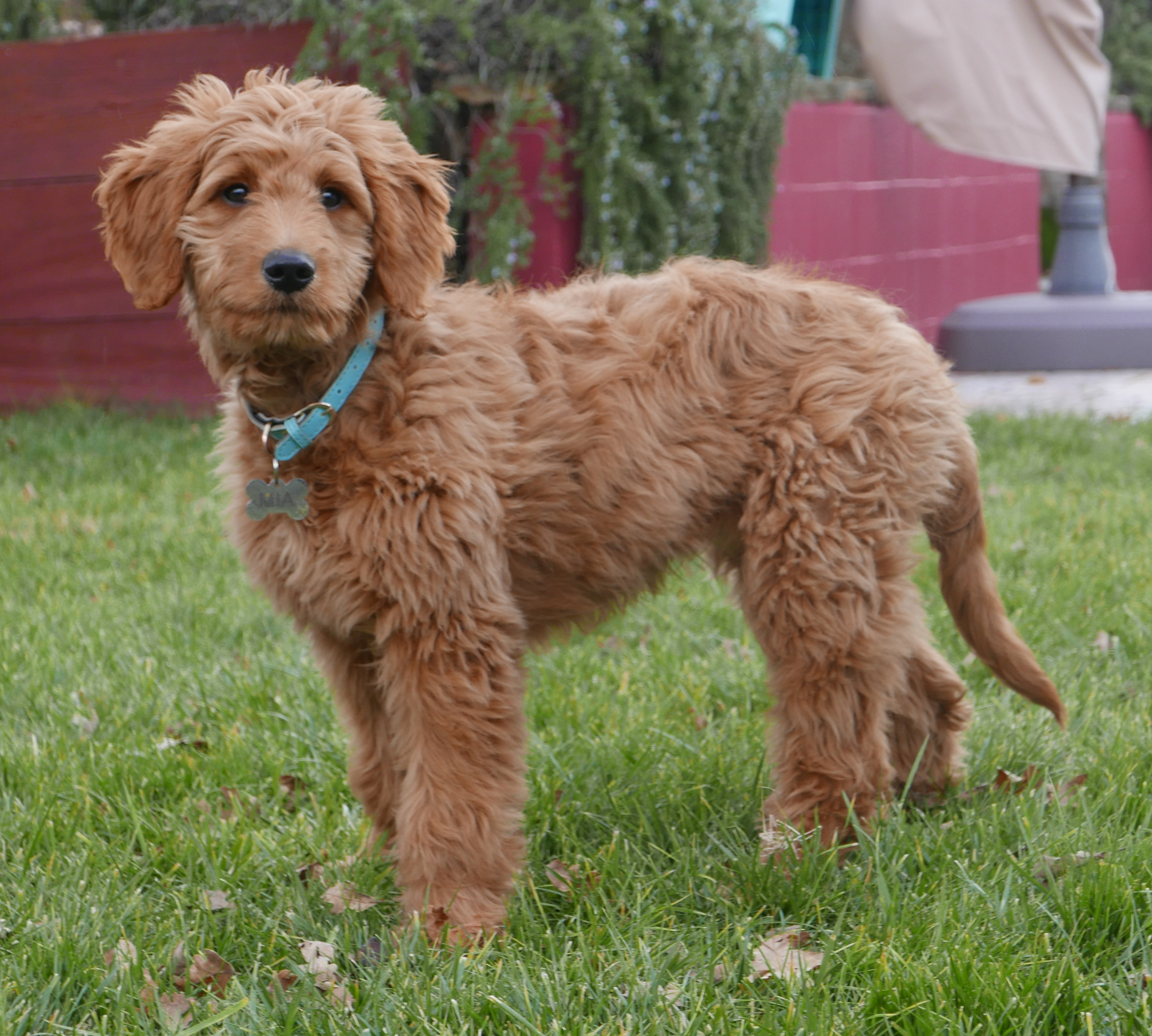 Goldendoodle - Wikipedia