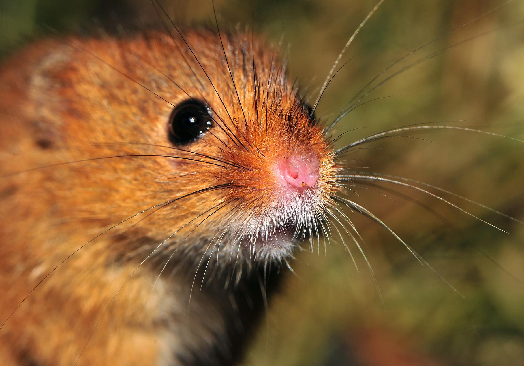 изображение мыши: