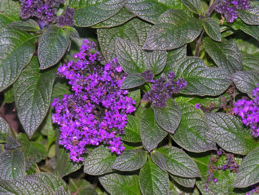 An image of the heliotrope flower