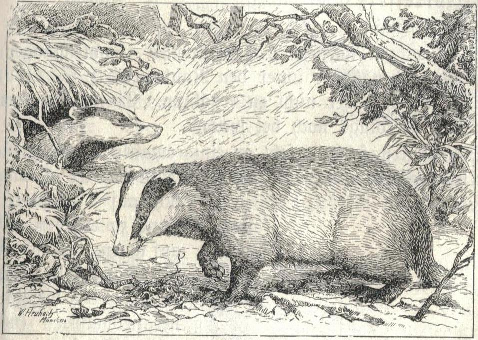 fileheubach badger  wikimedia commons