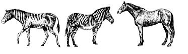 Drawing of Hagerman horse (left) with Grevy's zebra (middle) and Domesticated horse (right)