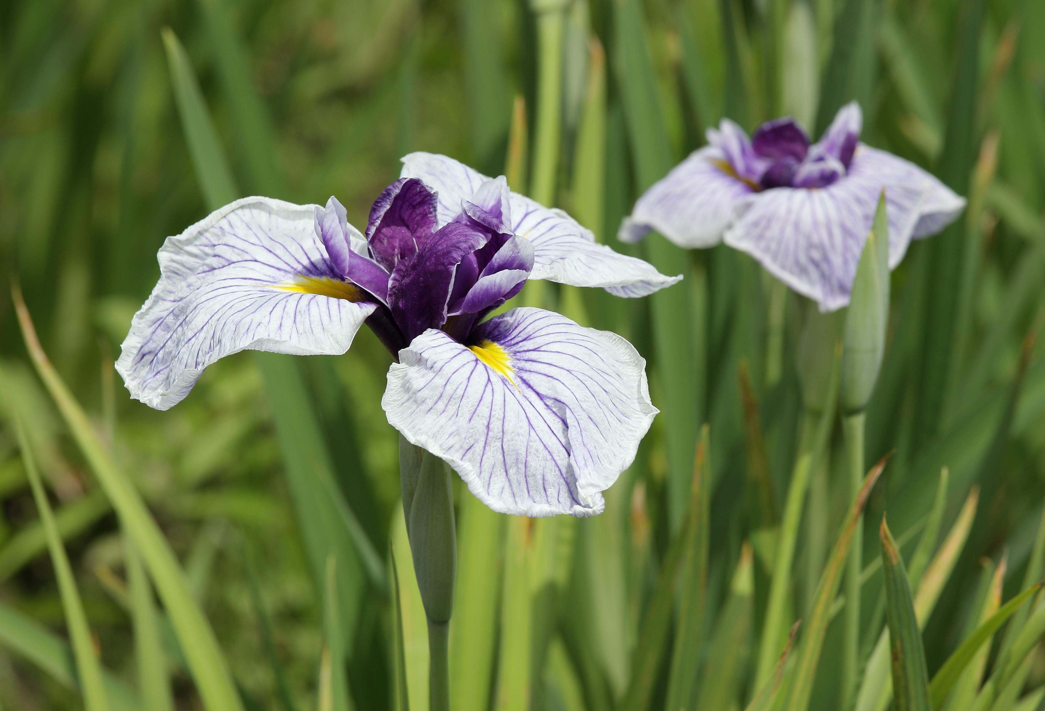Iris Ensata Wikipedia
