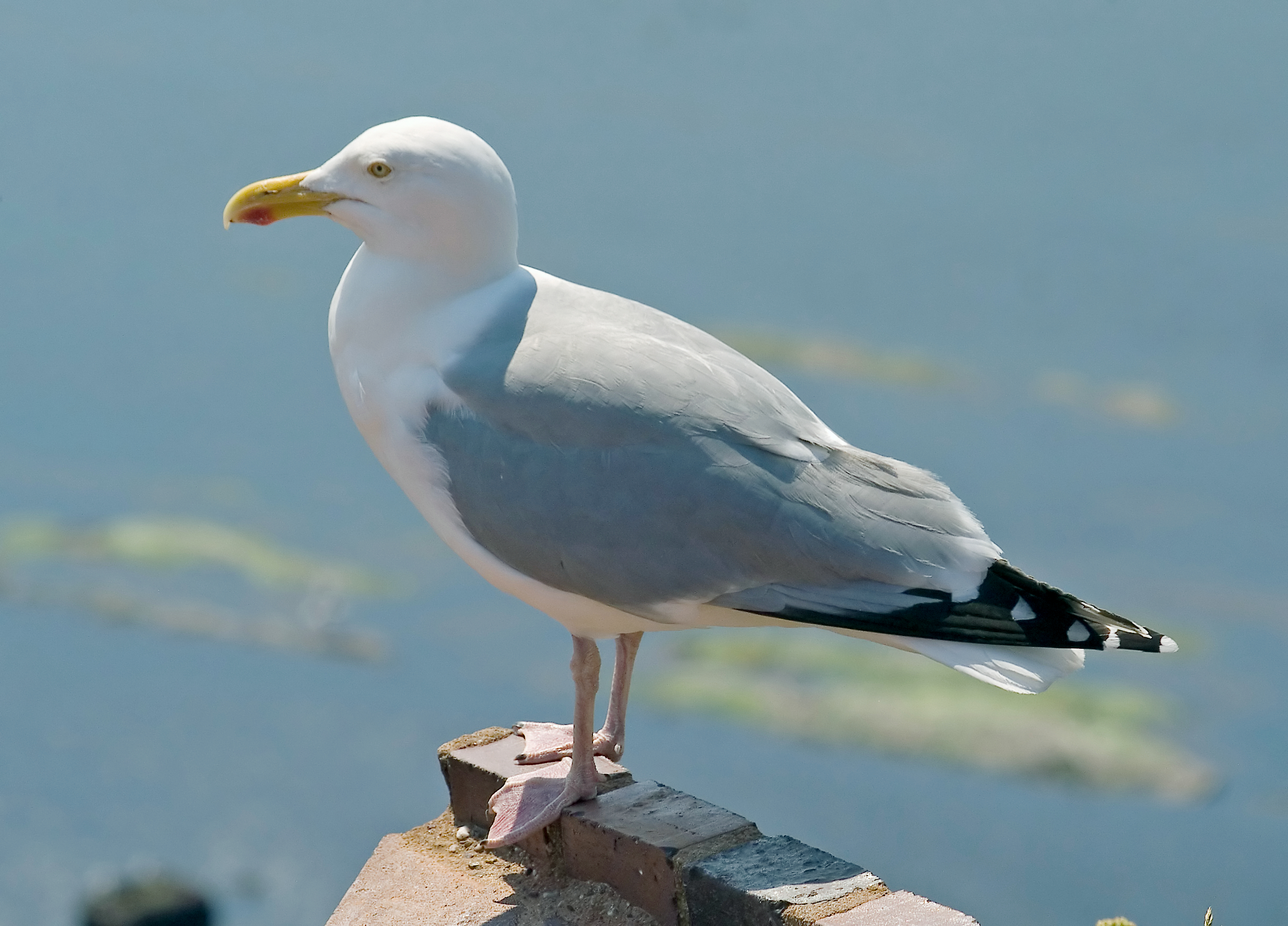 Hunting European Herring Gull in iceland