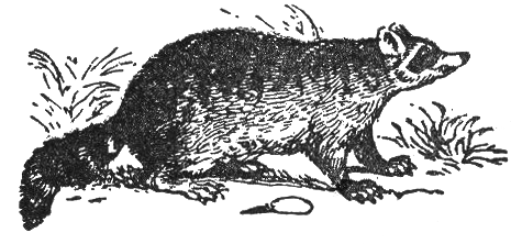 File:NSRW Common Raccoon.png