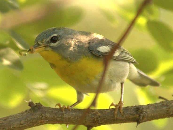 Fájl:Northern Parula with caterpillar.jpg